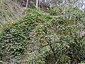 Starr-011026-0039-Thunbergia alata-smothering habit-Maliko Gulch Piiholo-Maui (24434561032).jpg