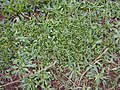 Starr-020108-0005-Erigeron karvinskianus-habit on steep bank-Makawao near cemetery-Maui (23919239953).jpg