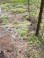 Starr-040514-0106-Cynodon dactylon-before hand weeding-Puhilele HNP-Maui (24608955281).jpg