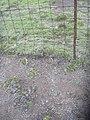 Starr-040514-0117-Cynodon dactylon-after hand weeding-Puhilele HNP-Maui (24676269506).jpg