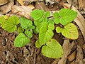 Starr-050815-3495-Rubus niveus-form a seedling-Pohakuokala Gulch-Maui (24173231354).jpg