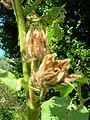 Starr-061108-9814-Hibiscus furcellatus-seed heads-Hoolawa Farms-Maui (24241879123).jpg