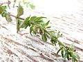 Starr-090401-5501-Veronica arvensis-leaves-Olinda-Maui (24320338164).jpg