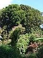 Starr-090604-8919-Antigonon leptopus-flowering habit-Puunene-Maui (24594731299).jpg