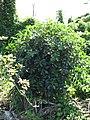 Starr-091104-0767-Ficus platypoda-habit-Kahanu Gardens NTBG Kaeleku Hana-Maui (24360700773).jpg