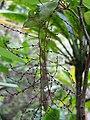 Starr-100430-2636-Charpentiera obovata-flowers-Iao-Maui (25030955605).jpg