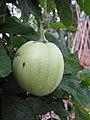 Starr-110217-1519-Solanum muricatum-fruit-Olinda-Maui (24708772879).jpg