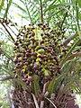 Starr-110307-2576-Phoenix roebelenii-fruit-Kula Botanical Garden-Maui (24960188812).jpg