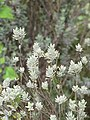 Starr-110307-2767-Leucophyllum frutescens-leaves-Kula Botanical Garden-Maui (24448091894).jpg