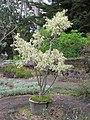 Starr-110307-2842-Ficus benjamina-variegated habit-Kula Botanical Garden-Maui (24711226289).jpg