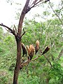 Starr-110307-2935-Phormium tenax-seed capsules-Kula Botanical Garden-Maui (24783433670).jpg
