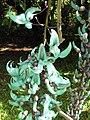 Starr-110330-3818-Strongylodon macrobotrys-flowers-Garden of Eden Keanae-Maui (24987468541).jpg
