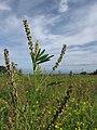 Starr-110405-4810-Melilotus indica-spent flowers and leaves-Kula-Maui (24714640819).jpg