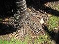 Starr-120522-6294-Chambeyronia macrocarpa-base-Iao Tropical Gardens of Maui-Maui (24516600453).jpg