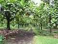 Starr-120606-6995-Artocarpus altilis-grove-Kahanu Gardens Hana-Maui (24848977510).jpg