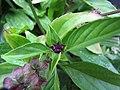 Starr-130319-3097-Ocimum basilicum var thyrsiflorum-leaves and flower-Kilauea Pt NWR-Kauai (25208659605).jpg