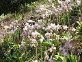 Starr-130809-2968-Amaryllis belladonna-flowering bulb-Kula-Maui (25141613202).jpg
