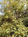 Starr-140909-1687-Syzygium cumini-habit-Wailua-Maui (24615075454).jpg