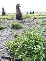 Starr-150401-0114-Solanum americanum-habit with Laysan Albatrosses-West Beach Sand Island-Midway Atoll (25272229995).jpg