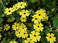 Starr-150811-0547-Thunbergia alata-Sundance flowering habit-Enchanting Floral Gardens of Kula-Maui (25295688275).jpg