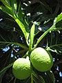 Starr-151029-2735-Artocarpus altilis-fruit-Maui Nui Botanical Garden Kahului-Maui (26282484145).jpg