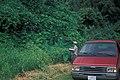 Starr-980807-1832-Pueraria montana var lobata-habit-Hana Hwy-Maui (24228295950).jpg