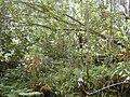 Starr 020501-0047 Cinchona pubescens.jpg