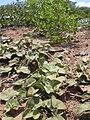 Starr 040403-0071 Solanum nelsonii.jpg