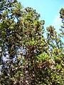 Starr 050831-7742 Cryptomeria japonica.jpg