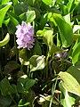 Starr 060714-8385 Eichhornia crassipes.jpg