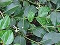 Starr 061105-1337 Psydrax odorata.jpg