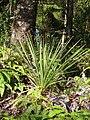 Starr 070405-6745 Cordyline australis.jpg