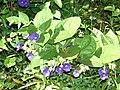 Starr 071024-0357 Thunbergia battiscombei.jpg