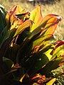 Starr 080328-3933 Cordyline fruticosa.jpg