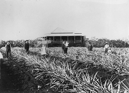 Pineapple plantation at Cleveland, 1907 StateLibQld 1 64303 Pineapple plantation at Fred Zerner's farm, Cleveland, 1907.jpg