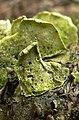 Stegasaurus Fungus - detail (2919995127).jpg