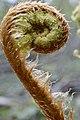 Stekelvaren, Polystichum spinulosum.jpg
