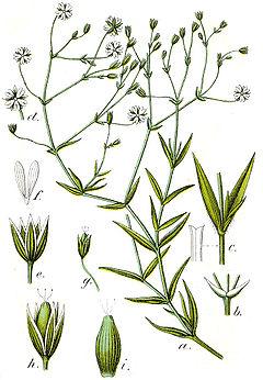 Stellaria graminea Sturm7