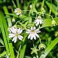 Stellaria holostea in Aveyron (9).jpg