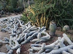Huntington Desert Garden - Image: Stenocereus Creeping Devils at Huntington Library