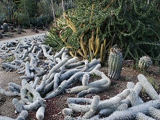 Huntington Desert Garden - Image: Stenocereus Creeping Devils at Huntington Library
