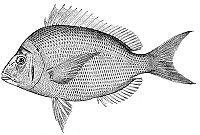 Stenotomus chrysops (line art)
