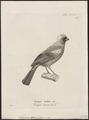 Stephanophorus leucocephalus - 1700-1880 - Print - Iconographia Zoologica - Special Collections University of Amsterdam - UBA01 IZ15900259.tif