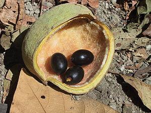 Sterculia apetala - Image: Sterculia apetala fruit