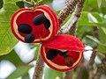 Sterculia quadrifida fruits.jpg