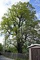 Stieleiche im Ebersdorfer Pfarrgarten (2018-05-01 Naturdenkmal ND SOK 32).jpg
