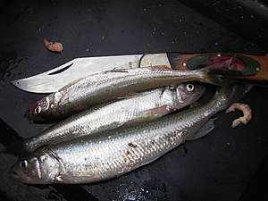 European smelt - Smelt are about 15–20 cm long