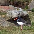Strandskata Oystercatcher (14079662531).jpg