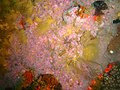 Strawberry anemones at Rambler Rock south reef P9078412.jpg