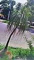 Street tree @dharmatala.jpg